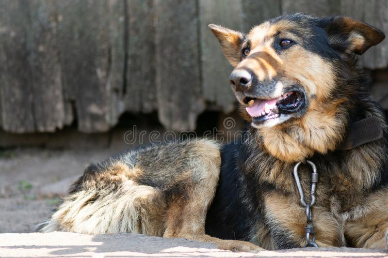 Old German shepherd dog on a chain.  stock photography