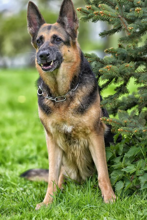 old German shepherd dog in the park royalty free stock images