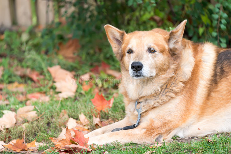 Download Old German Shepherd Dog Or Pet Resting Stock Image - Image of outdoors, doggy: 45929017
