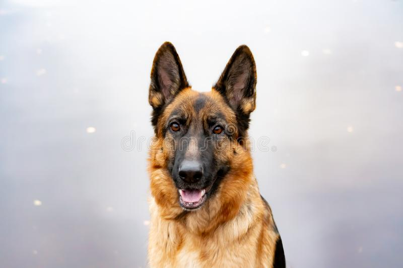 Old German Shepherd. Portrait on a background of a pond. Harmonious relationship with the dog: education and training stock photo