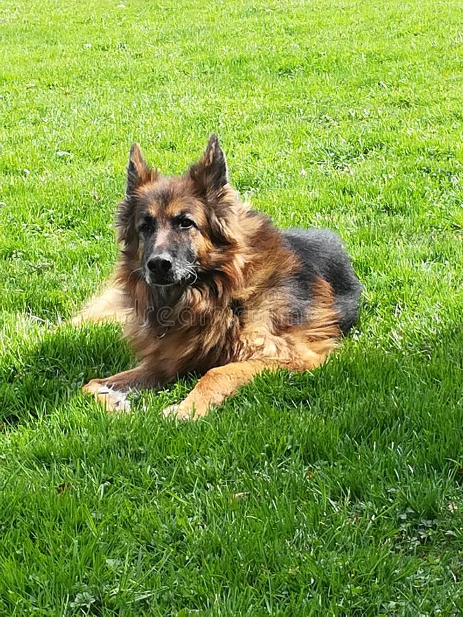 old german Sheppard stock photography