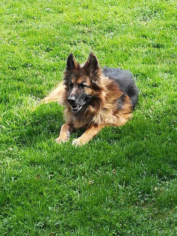 Old german Sheppard royalty free stock photography