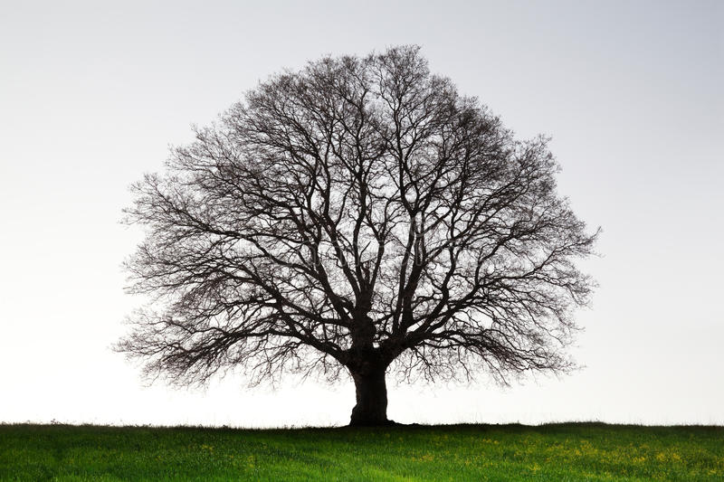 Old giant oak tree stock images