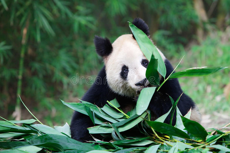 Old giant panda. An old giant panda is eating bamboo leaf