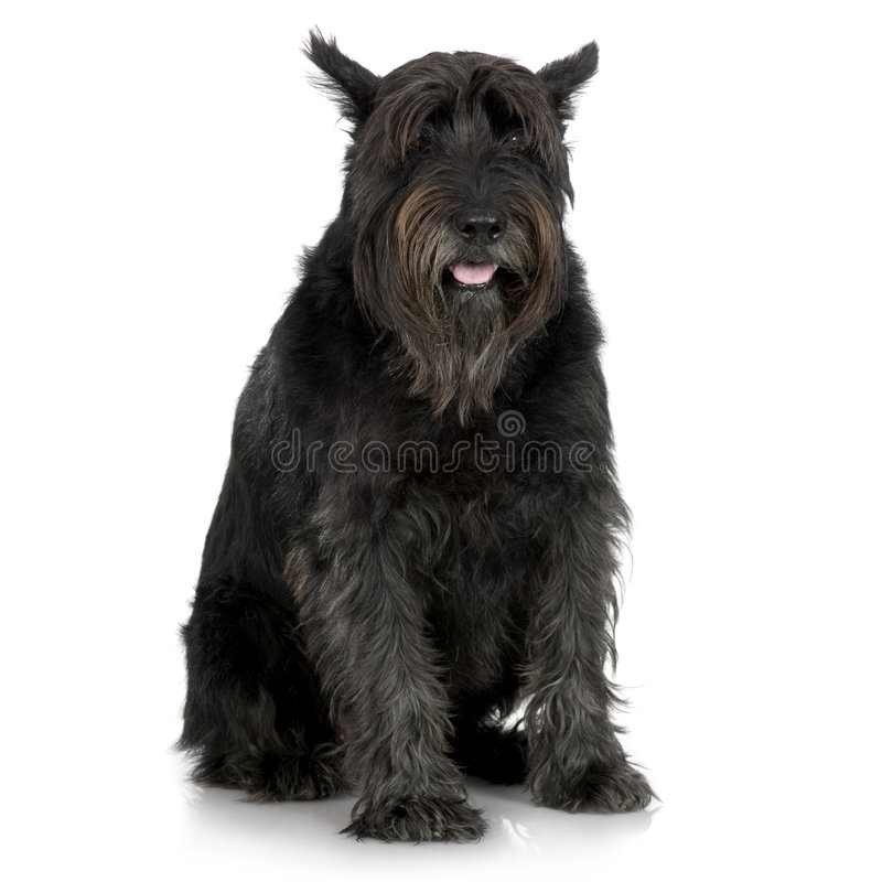 Free Old Giant Schnauzer (7years) Stock Photography - 2672212