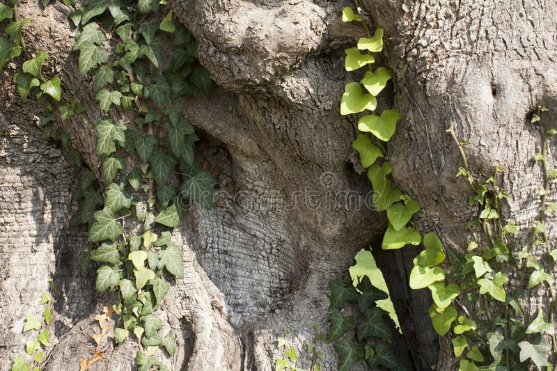 Old powerful tree trunk of an olive tree stock photo