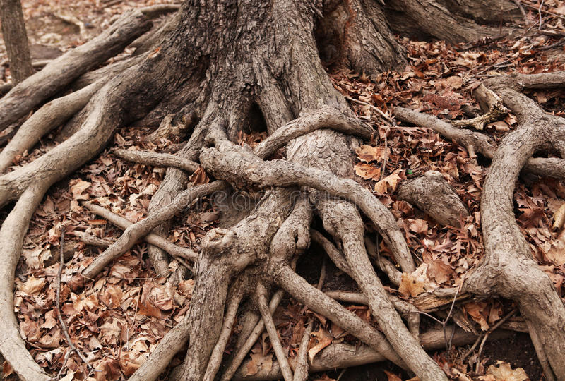 Old Gnarled Tree Roots on a Forest Floor of Dried Leaves stock image
