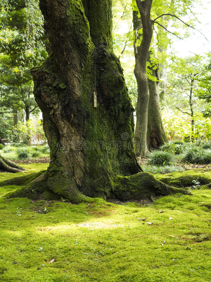 Old gnarled trees and moss royalty free stock photos