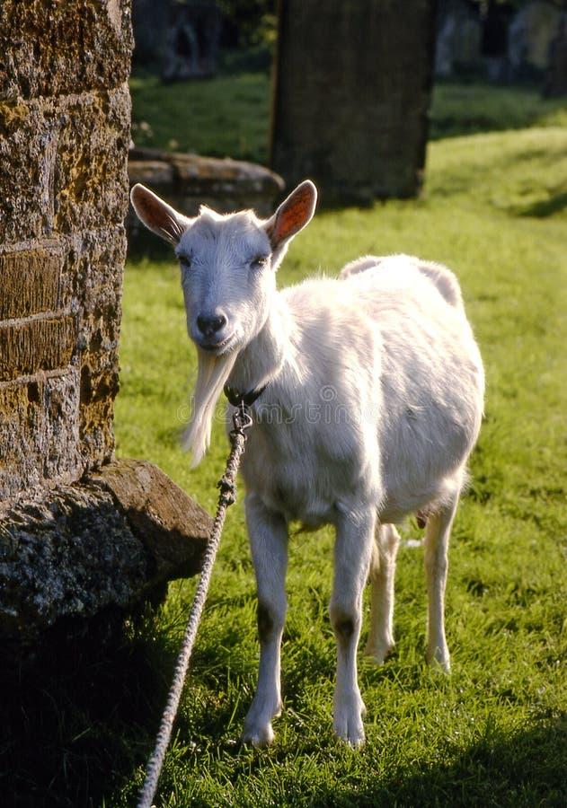 Free Old Goat Royalty Free Stock Image - 4938636