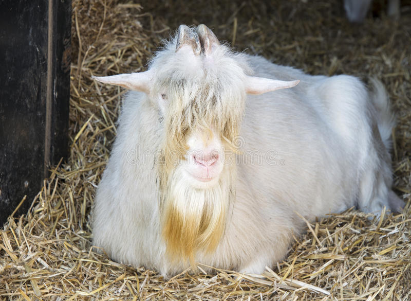 Old Goat On The Farm Royalty Free Stock Image