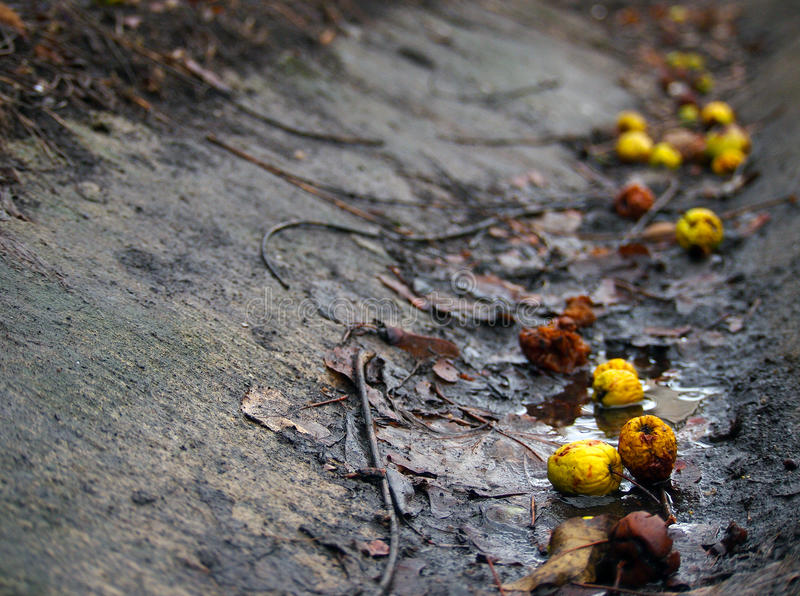 Old golden apples. Yellow apples fallen in a ditch stock photography