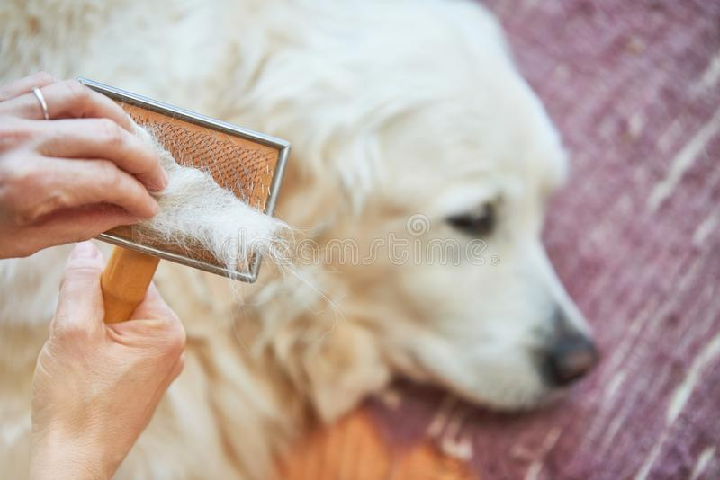 Woman combs old Golden Retriever dog with a metal grooming comb stock images
