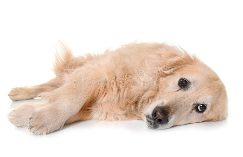 Old golden retriever. In front of white background stock photo