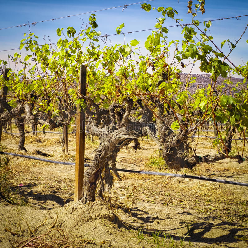 Old Grape Vines, Guadalupe Valley, Mexico royalty free stock photography