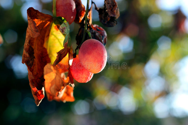 Old Grapes royalty free stock image
