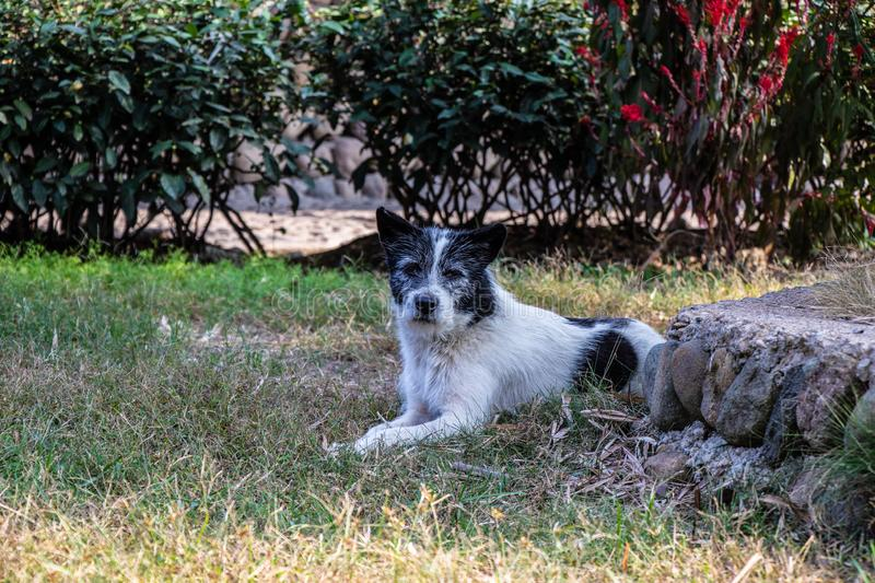 Old gray dog lying on the grass. Animal near green bushes. Black and white dog head. Old gray dog lying on the grass. Animal near green bushes. Black and white stock image