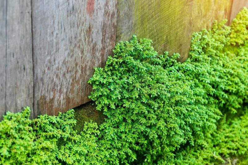 Old gray stone wall with green moss texture background. Abandoned autumn beautiful bright bushy cement close up closeup color colorful cool cork crust detail stock photo