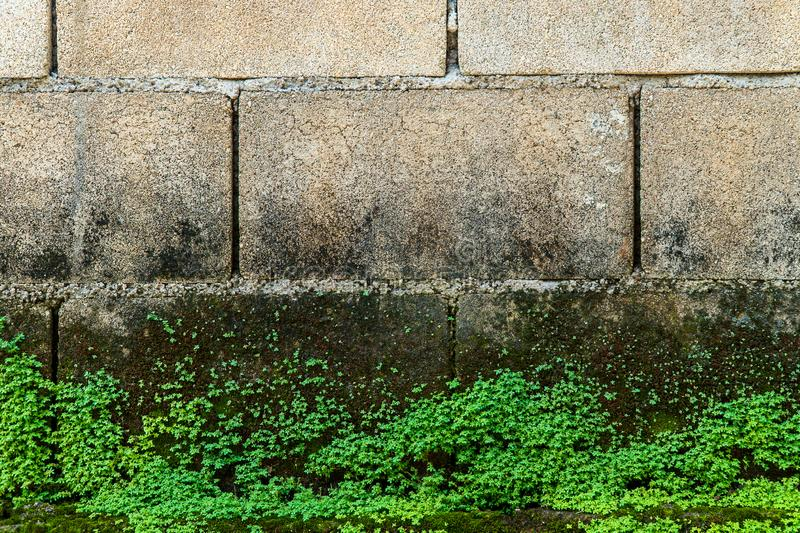 Old gray stone wall with green moss texture background. Abandoned autumn beautiful bright bushy cement close up closeup color colorful cool cork crust detail stock photos