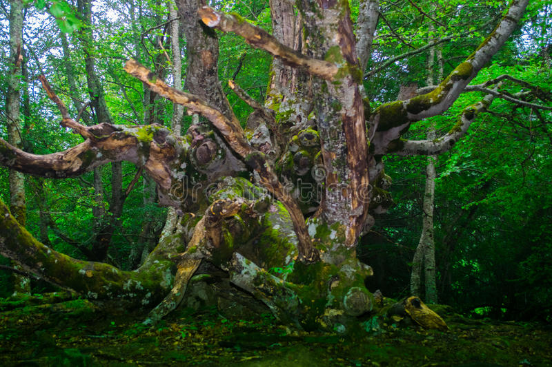 Old green tree in the forest. royalty free stock photos
