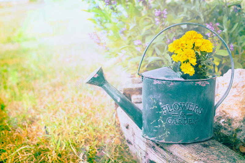 Old green watering pot with yellow flowers on summer garden background. Toned royalty free stock photo