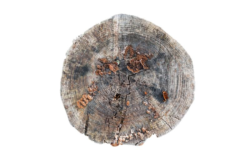 Old grey wooden stump isolated on the white background. Round cut down tree with annual rings as a wood texture. royalty free stock photo