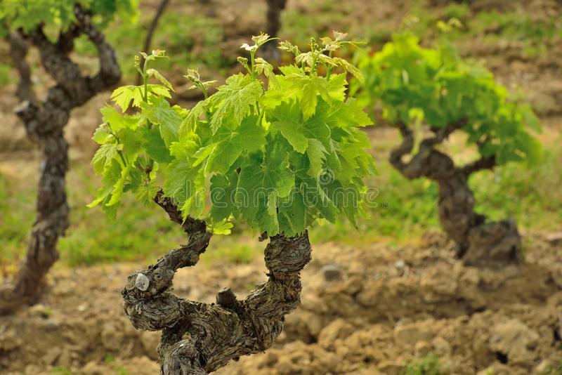 Download Old groth vines in France stock photo. Image of vineyard - 31347850