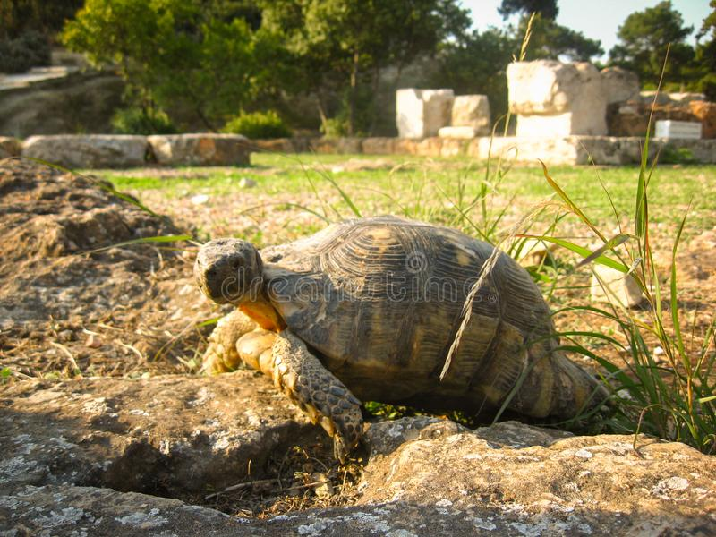 Old ground turtle in the sunset, against the backdrop of ancient ruins in Athens Greece.  royalty free stock photos