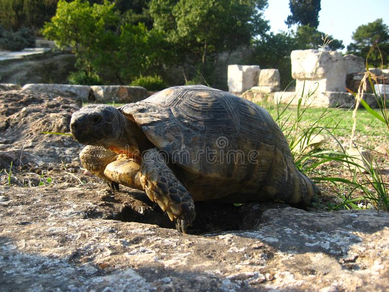 Old ground turtle in the sunset, against the backdrop of ancient ruins in Athens Greece.  royalty free stock images