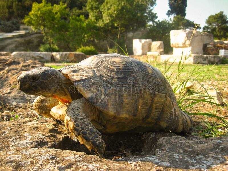 Old ground turtle in the sunset, against the backdrop of ancient ruins in Athens Greece.  royalty free stock photo
