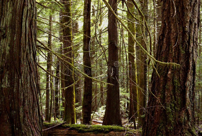 Old Growth stock image