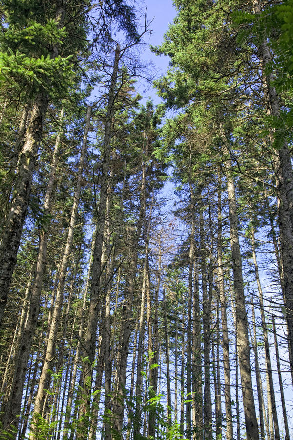 Download Old Growth Forest stock image. Image of edward, spruce - 15374585