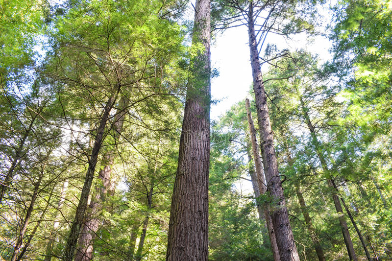 Old Growth Forest stock images