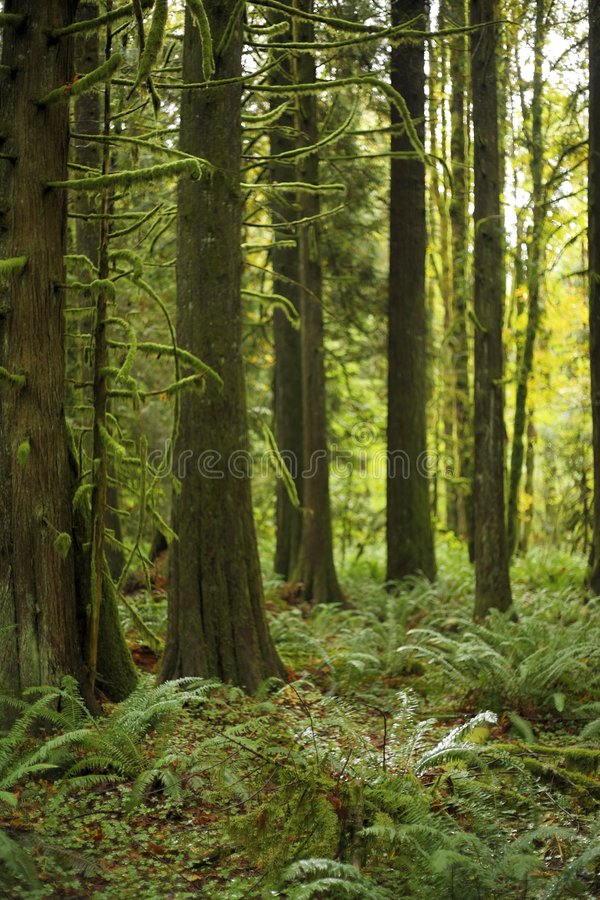 Old growth Forest mossy tree stands - lush forest royalty free stock photography