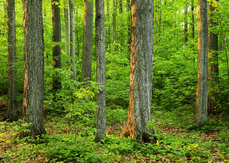 Download Old Growth Forest In 'The Sacred Grove' Stock Photo - Image: 56790