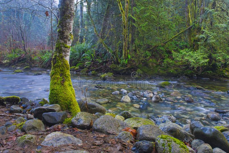 Old growth rain forest in Holland Creek trail in Ladysmith, Vancouver Island, British Columbia, Canada royalty free stock images