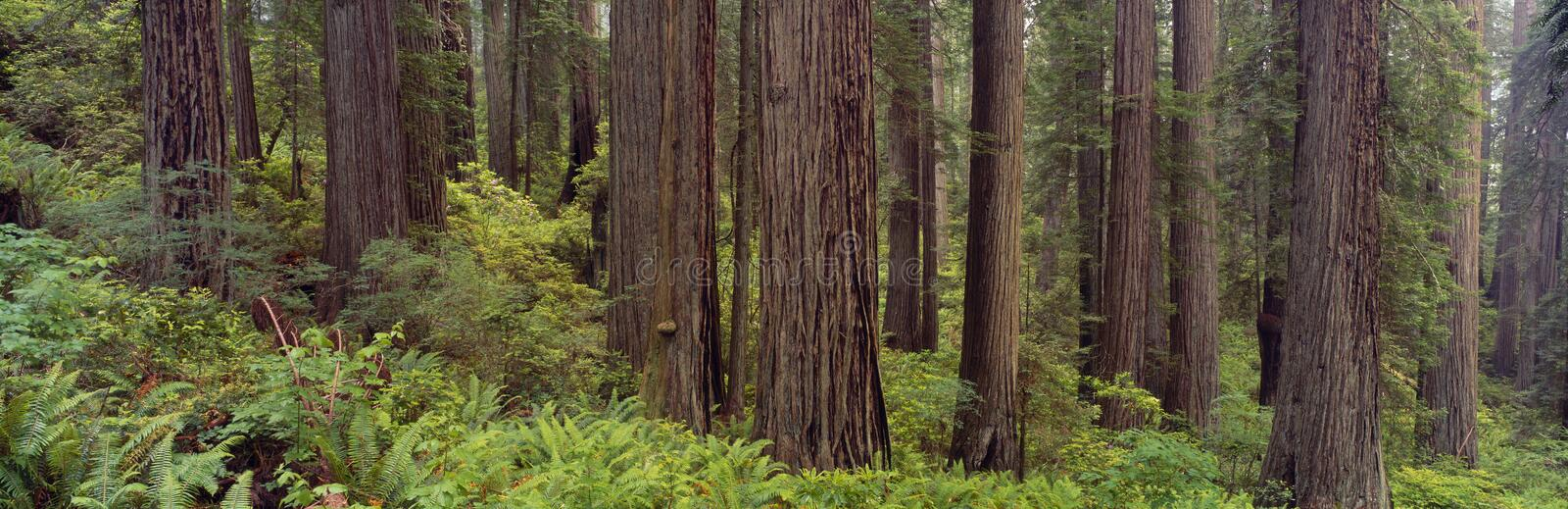Old-growth redwoods stock images