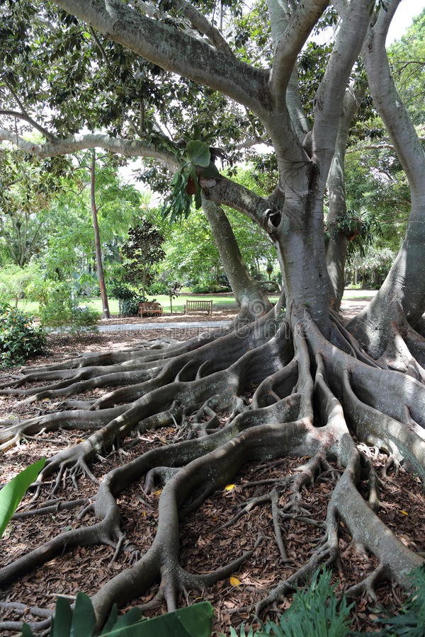 Old Growth Tree, Marie Selby Botanical Gardens, Sarasota, Florida ...