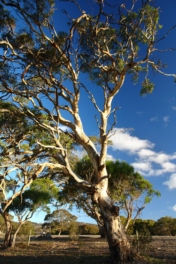 Old Gum Tree Stock Images