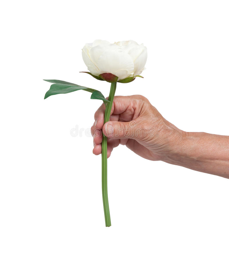 Old hand giving a rose. Isolated on white royalty free stock photo