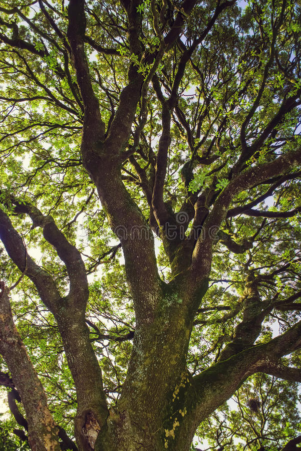 Old holm oak. royalty free stock image