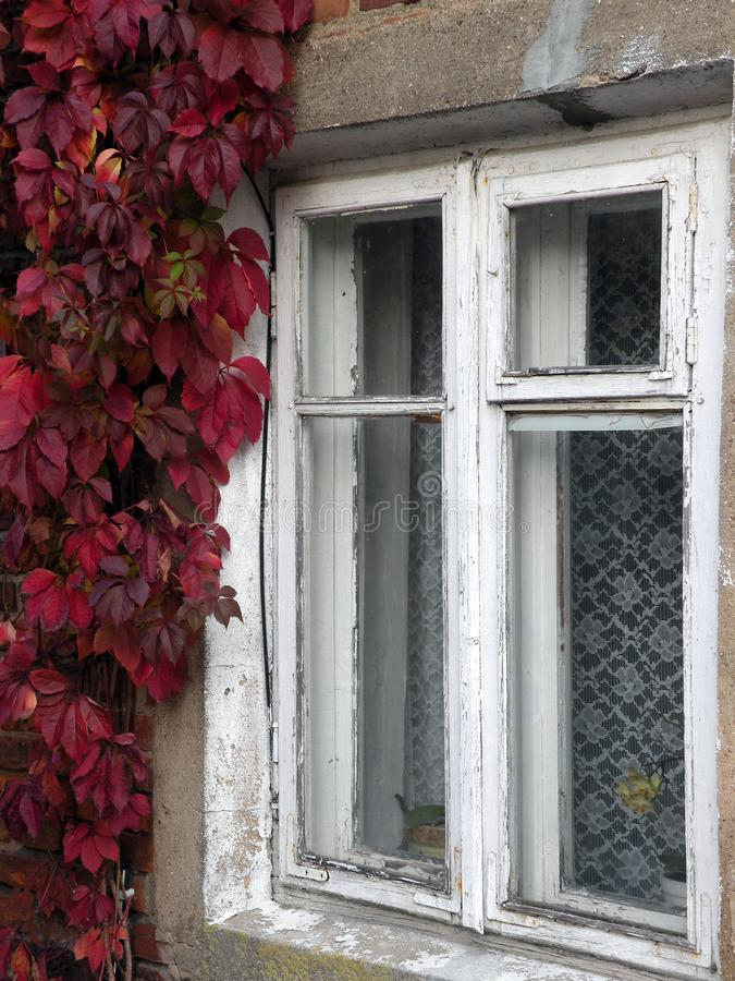 Old home window and creeper, Lithuania royalty free stock photography