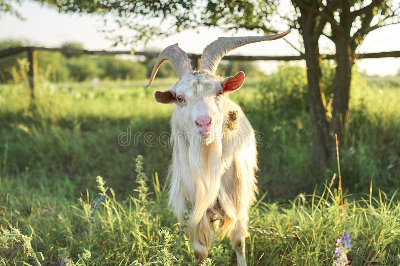 Old horned bearded white goat looks at the camera. In meadow, rural landscape, nature background royalty free stock image