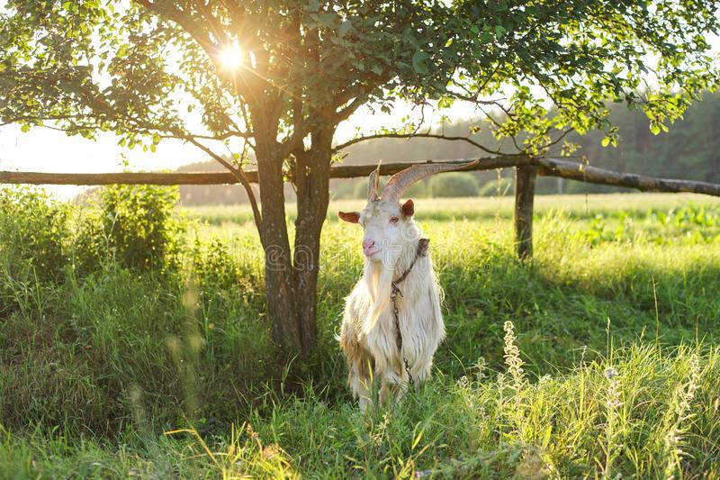 Old horned bearded white goat looks at the camera. In meadow, rural landscape, nature background stock photo