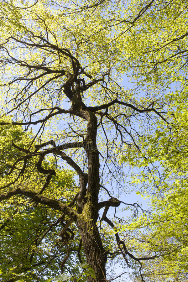 Free Old Horse-chestnut Tree Stock Photography - 30660412