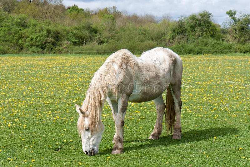 Download Old Horse In A Meadow With Dandelions Stock Image - Image: 24634527