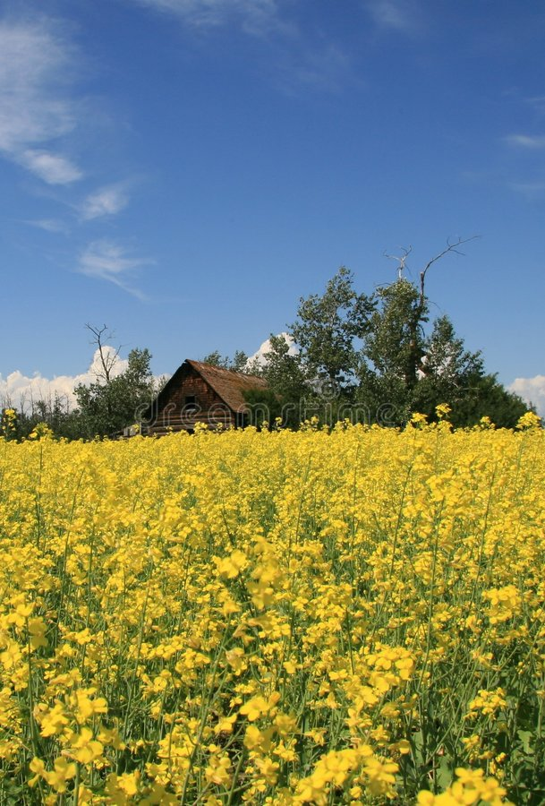 Free Old House In Canola Field Royalty Free Stock Photo - 2788275