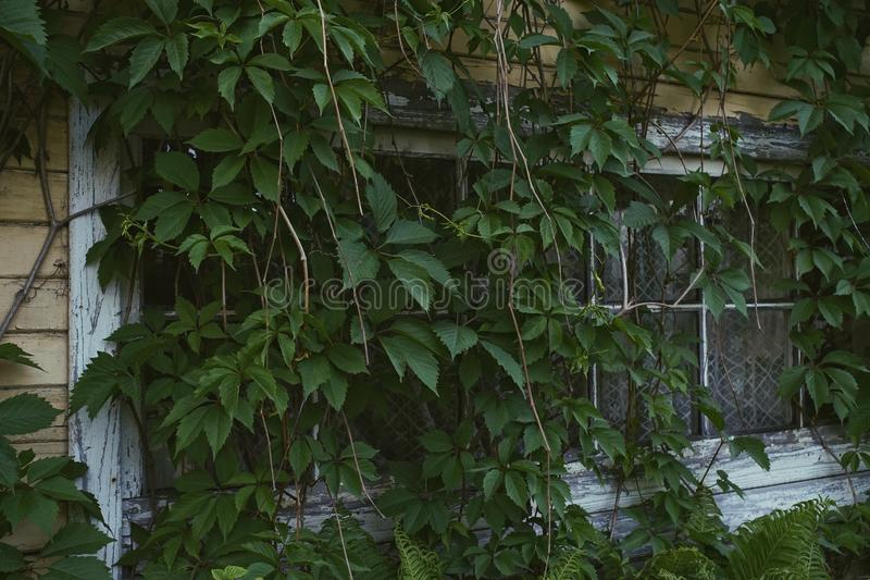 old house window green leaves liana village stock photos