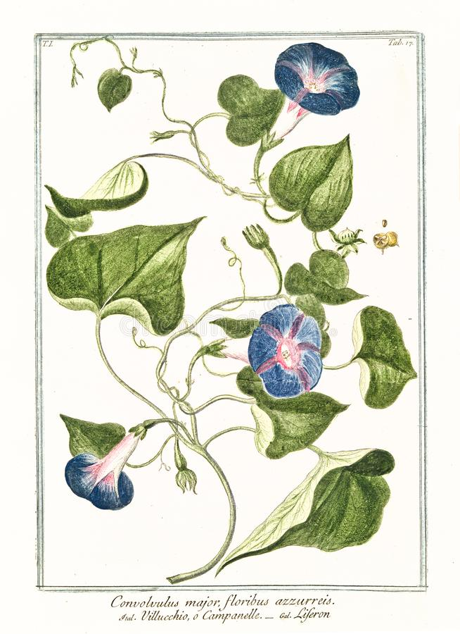 Old botanical illustration of Convolvolus major plant stock image