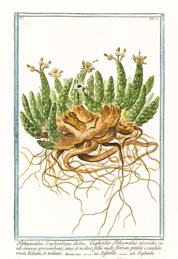 Old botanical illustration of Tithymalus euphorbium plant stock images