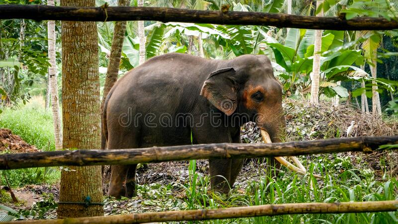 Sad old indian elephant behind wooden fence on farm in asian village royalty free stock photos